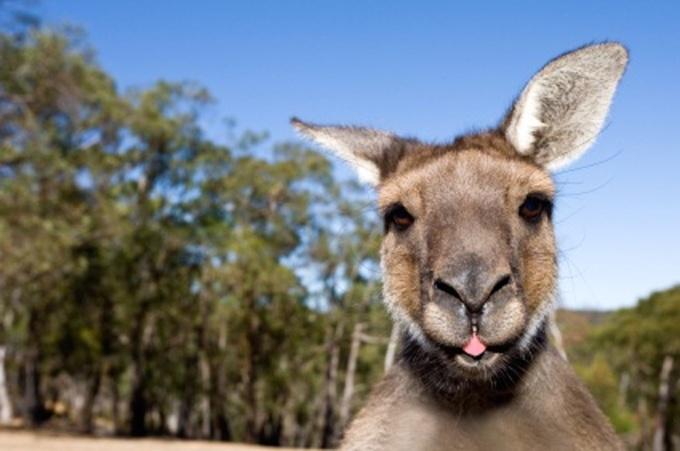 phillip_island_kangaroos_and_wallabies